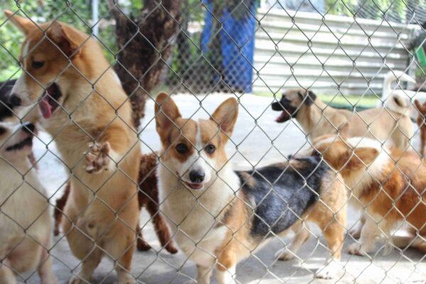 mua bán các giống chó thuần chủng