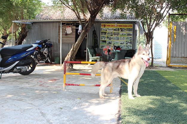 huấn luyện chó husky