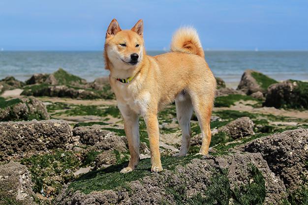 huấn luyện chó shiba inu
